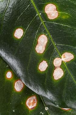 Coffee leaf rust (Hemileya vastatrix), Finca Nueva Linda, El Triunfo Biosphere Reserve, Chiapas, southern Mexico, April