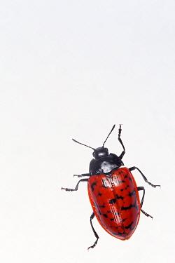 Pleasing fungus beetle (Erotylina leoparda), captive, Finca Nueva Linda, El Triunfo Biosphere Reserve, Chiapas, southern Mexico, April