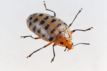 Pleasing fungus beetle (Neopriotelus apiatus), captive, Finca Nueva Linda, El Triunfo Biosphere Reserve, Chiapas, southern Mexico, April