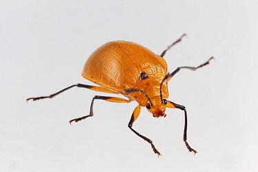 Pleasing fungus beetle (Homeotelus sp.), captive, Finca Nueva Linda, El Triunfo Biosphere Reserve, Chiapas, southern Mexico, April