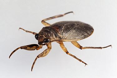 Water bug (Abedus sp.), captive, Finca Nueva Linda, El Triunfo Biosphere Reserve, Chiapas, southern Mexico, April