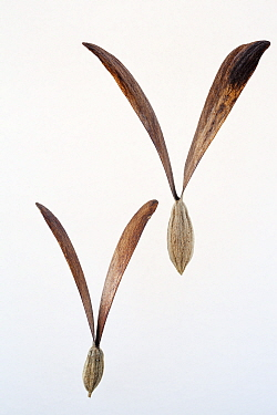 San Felipe (Gyrocarpus mocinnoi) seed, Finca Arroyo Negro, El Triunfo Biosphere Reserve, Chiapas, southern Mexico, April