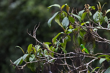 Blue-crowned chlorophonia (Chlorophonia occipitalis), El Triunfo Biosphere Reserve, Chiapas, southern Mexico, May