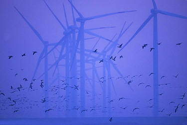 Canada goose (Branta canadensis) flock flying past wind turbines in North Sea. North Frisia, Germany.