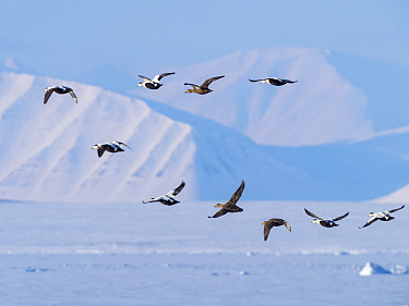 RF - Eider duck (Somateria mollissima) flock in flight over snow. Isfjorden, Svalbard, Norway. April 2018. (This image may be licensed either as rights managed or royalty free.)