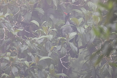 Horned guan (Oreophasis derbianus) in the fog, IUCN Redlist Endangered, El Triunfo Biosphere Reserve, Chiapas, southern Mexico, May