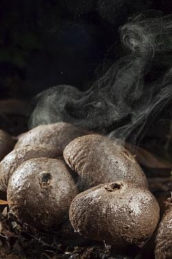 Earthstar Mushroom (Geastrum sp.) releasing spores, El Triunfo Biosphere Reserve, Chiapas, southern Mexico, May
