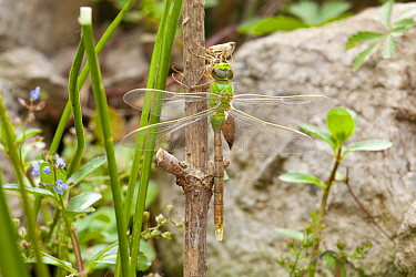 Emperor dragonfly (Anax imperator) newly emerged adult hangs from exuvia, Bristol, UK, May