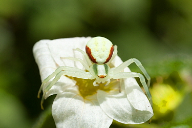 Flower crab spider (Misumena vatia) female with red and green stripes, on Saxifraga flower, Bristol, UK, May