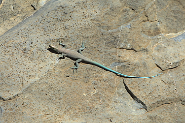 Blue-tailed Oman lizard (Omanosaura cyanura) Saqy Plateau, Jabal Akhdar, Oman, November