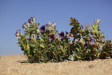 Henbane (Hyoscyamus gallagheri) in flower, Shelim, Oman, February