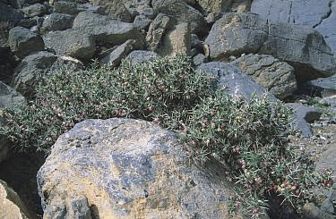 Milkvetch plant (Astragalus fasciculifolius), Musandam, Oman, February