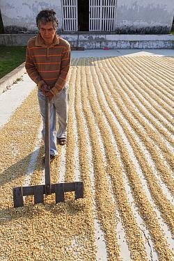 Man raking Pergamino Coffee beans for drying, Finca Arroyo Negro, El Triunfo Biosphere Reserve, Chiapas, southern Mexico, April 2015