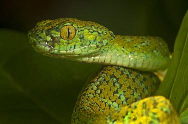 Guatemala Palm Pit Viper (Bothriechis bicolor), Finca Nueva Linda, El Triunfo Biosphere Reserve, Chiapas, southern Mexico, April