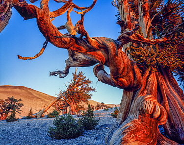 Ancient Bristlecone Pine Forest with twisted limbs of Bristlecone pine (Pinus longaeva) at dawn on the White Mountains, Inyo National Forest, California, USA.
