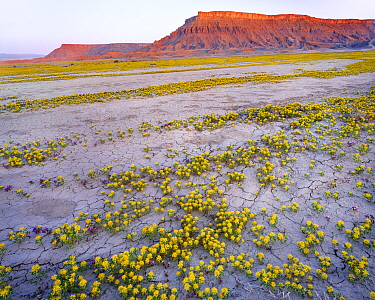 Flowering Yellow Beeplant (Cleome lutea) and Pretty phacelia (Phacelia pulchella var. sabulonum) amid alluvial run off, Factory Bench, Fremont, Utah, USA.