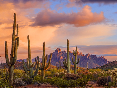 Stands of Chain cholla cactus with Saguaro cacti (Carnegiea gigantea), with Ragged Top Mountain in the Silverbell Range dominating the horizon at sunset after late spring storm. Ironwood National Monu...