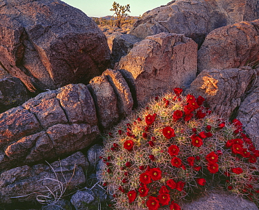 Mound cactus (Echinocererus triglochidiatus var. mojavensis) flowering at sunset with Joshua tree (Yucca brevifolia) in distance, Mojave Trails National Monument California, USA.