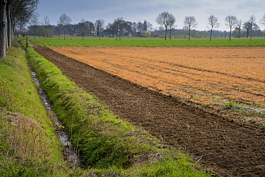 Field treated with glyphosate weedkiller, ditch running alongside. Veghel, North Brabant, The Netherlands, March 2019.