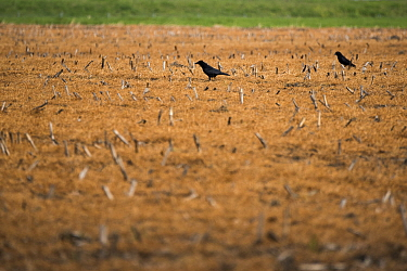 Carrion crow (Corvus corone), two walking amongst stubble treated with glyphosate weedkiller to reset field in preparation for replanting. Veghel, North Brabant, The Netherlands, March 2019.