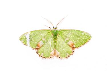 Blotched emerald moth (Comibaena bajularia). De Kaaistoep Nature Reserve, Tilburg, The Netherlands. April. Controlled conditions.