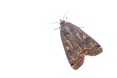 Large yellow underwing moth (Noctua pronuba). De Kaaistoep Nature Reserve, Tilburg, The Netherlands. April. Controlled conditions.