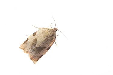 Mountain-ash tortricid moth (Choristoneura hebenstreitella). De Kaaistoep Nature Reserve, Tilburg, The Netherlands. April. Controlled conditions.