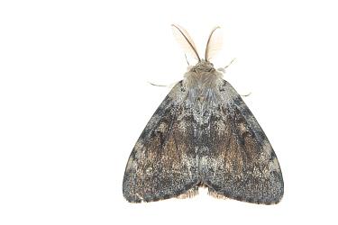 Gypsy moth (Lymantria dispar). De Kaaistoep Nature Reserve, Tilburg, The Netherlands. June. Controlled conditions.