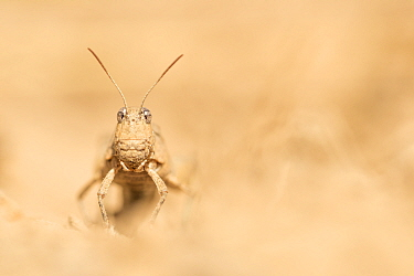 Blue-winged grasshopper (Oedipoda caerulescens). The Netherlands. August.