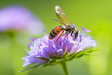 Large scabious mining bee (Andrena hattorfiana) nectaring on Scabious. The Netherlands. June.