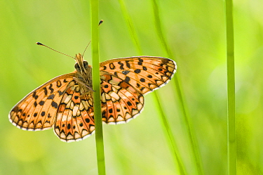Small pearl bordered fritillary butterfly (Boloria selene) resting on stem. The Netherlands. August.