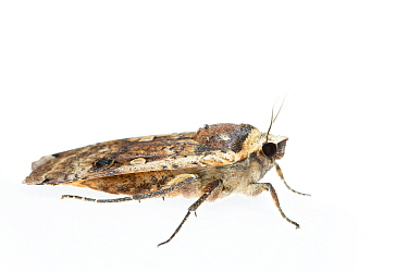 Large yellow underwing moth (Noctua pronuba). De Kaaistoep Nature Reserve, Tilburg, The Netherlands. June. Controlled conditions.