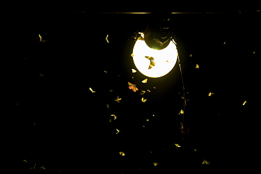 Moths (Lepidoptera) attracted to light during insect trapping and identification session. Long-term monitoring has revealed a 50% decrease in moth numbers in 25 years. De Kaaistoep Nature Reserve, Til...