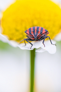 Stink bug (Graphosoma lineatum) on Daisy flower. The Netherlands. June.