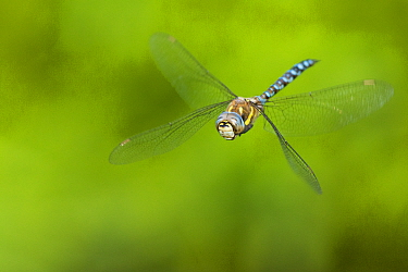 Migrant hawker dragonfly (Aeshna mixta) in flight, hovering. The Netherlands. August.