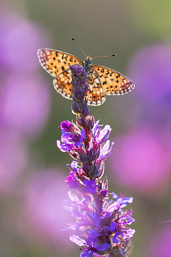 Small pearl bordered fritillary butterfly (Boloria selene) resting on flower. The Netherlands. July.