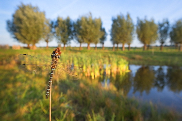Southern hawker dragonfly (Aeshna cyanea) resting on stem beside lake. The Netherlands. July.
