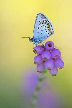 Silver-studded blue butterfly (Plebejus argus) resting on Cross-leaved heath (Erica tetralix). The Netherlands. July.
