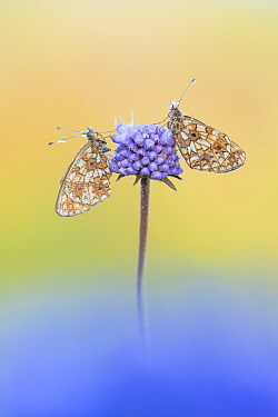 Small pearl bordered fritillary butterfly (Boloria selene), two resting on Scabious. The Netherlands. July.