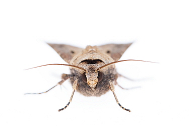 Heart and dart moth (Agrotis exclamationis). De Kaaistoep Nature Reserve, Tilburg, The Netherlands. April. Controlled conditions.