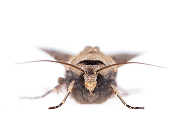 RF - Heart and dart moth (Agrotis exclamationis). De Kaaistoep Nature Reserve, Tilburg, The Netherlands. April. Controlled conditions. (This image may be licensed either as rights managed or royalty f...