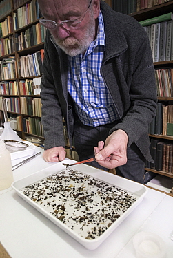 Entomologist sorting through tray of collected insects. Long-term monitoring by the Entomological Society Krefeld has revealed a 75% decline in insect biomass over 27 years. Germany, May 2018.