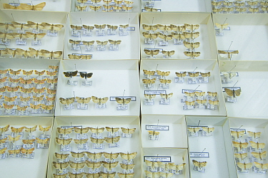 Grass moth (Pyralidae), pinned specimens in collection of Entomological Society Krefeld. Germany 2018.
