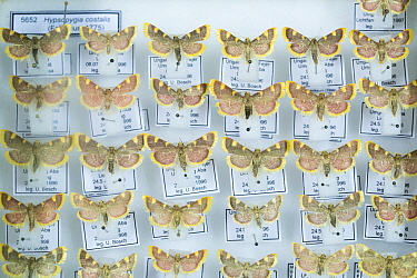 Gold triangle moth (Hypsopygia costalis), pinned specimens in collection of Entomological Society Krefeld. Germany 2018.