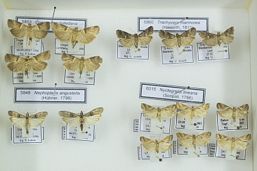 Marbled knot-horn (Acrobasis marmorea), Agate knot-horn (Nyctegretis lineana), Spindle knot-horn (Nephopterix angustella) and Scarce oak knot-horn (Acrobasis tumidana) moths, pinned specimens in coll...
