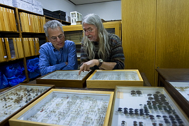 Entomologists examining pinned Insect specimens in collection. Krefeld, Germany. 2019.