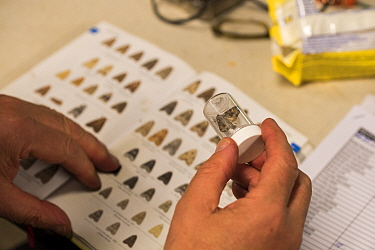 Identification of Moth with aid of guide during insect trapping and identification session. Long-term monitoring has revealed a 50% decrease in moth numbers in 25 years. De Kaaistoep Nature Reserve, T...