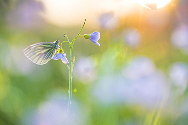 Green-veined white butterfly (Pieris napi) on Cuckooflower (Cardamine pratensis) in evening light. The Netherlands. March.