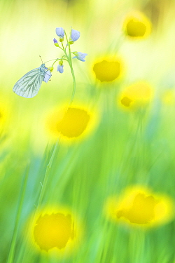 RF - Green-veined white butterfly (Pieris napi) on Cuckooflower (Cardamine pratensis), in meadow amongst Buttercup (Ranunculus sp) flowers. The Netherlands. March. (This image may be licensed either a...