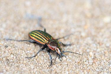 Ground beetle (Carabus nitens). Dwingelderveld National Park, The Netherlands. May.